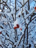 plants covered with snow Royalty Free Stock Photography