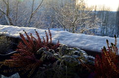 Plants covered with snow in winter Royalty Free Stock Photography