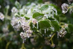 Plants in the ice. The plants are covered with a thick layer of ice after the rain and frost Royalty Free Stock Photo