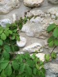 Plants. Creeping vines on stone wall Stock Photo
