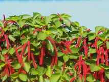 Plants Of Cuba. Chenille plant or Acalypha hispida in bloom in Eastern Cuba Stock Photos