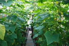 Plants of cucumber Royalty Free Stock Photos