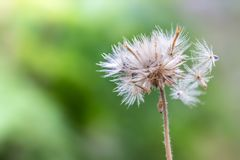 Plants dandelions. Selection focus only on some points in the image Royalty Free Stock Photos