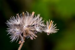Plants dandelions. Selection focus only on some points in the image stock photography