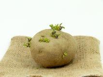 Plants de pommes de terre Image libre de droits