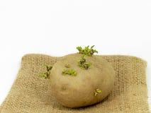 Plants de pommes de terre Images stock