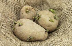 Plants de pommes de terre Photo libre de droits