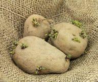 Plants de pommes de terre Photographie stock