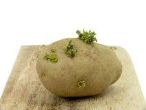 Plants de pommes de terre Image stock