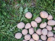 Plants de pommes de terre de ressort sur le fond d'herbe verte photos libres de droits