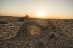 Shrub of desert. The plants in the desert.In the winter morning Royalty Free Stock Photos