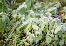 Plants And Early Frosts Royalty Free Stock Image