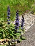 Plants of echium beside the road. Royalty Free Stock Photos
