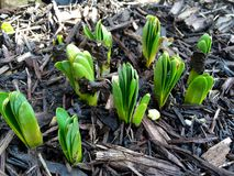 Plants emerging in spring. Plant bulbs emerging from mulch soil in the garden Royalty Free Stock Photo