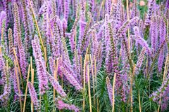 Liatris spicata, a showy plant, offers plumes of mauve flowers, which show colorful in late summer. stock photography