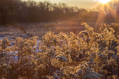 Plants on a field in golden shine taken on a cold winter morning. Sunrise Royalty Free Stock Photography