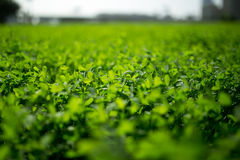 Plants. Field of green alfalfa plant Royalty Free Stock Image
