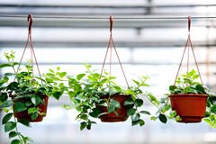 Plants in flowerpot. In a green house Stock Photos