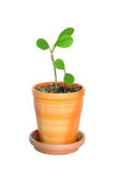 Plants in flowerpot. Nice two young plants in flowerpot Stock Photography