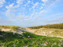 Plants and flowers in dunes near sea, Lithuania royalty free stock image