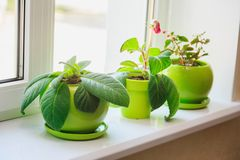 Plants in green pots on the windowsill. Plants and flowers in green pots on the windowsill, home interior royalty free stock photos