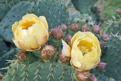 Plants and flowers of prickly pear Stock Images