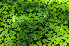 A plants in forest. A green clover in forest royalty free stock photo