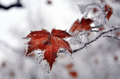 Plants with frost on them Royalty Free Stock Images