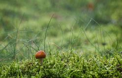 MUSHROOM IN THE RAIN. Plants and fruits of undergrowth Stock Images