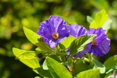 Lycianthes rantonnetii, the blue potato bush or Paraguay nightshade royalty free stock photo
