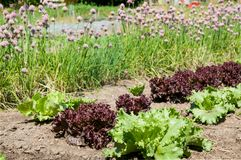 Plants on the garten bed in the summertime. Vegetable garden beds with mixture plants of onion and salad Royalty Free Stock Image