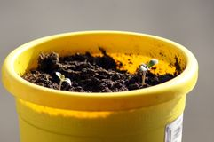 Plants germinate in The Flower Pot. Springtime in the Garden stock photography
