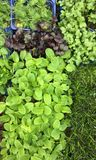Green Plants germinated in a rural market placed in Mallorca. The germinated plants are a very nice complement for salads and a lot of other food. Nowadays the royalty free stock photos