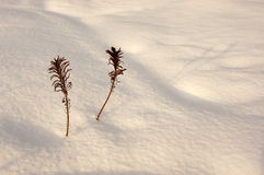 Plants grace. Brakens in the evening light on the snow Royalty Free Stock Photo