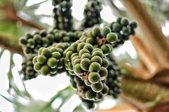 Plants of Gran Canaria. Wine palm fruits. Hyphaene coriacea. Pal. Mera del vino. Arecaceae. Origin South Africa and Madagascar Royalty Free Stock Photography
