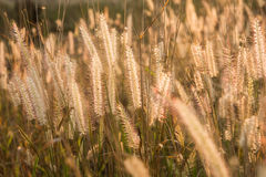 Plants grass field at gold sunset Royalty Free Stock Photography