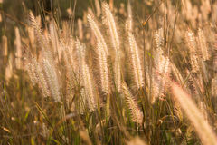Plants grass field at gold sunset Royalty Free Stock Photos