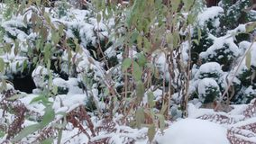 Plants trapped with snow. Plants and grass trapped with first frost and snow stock video footage