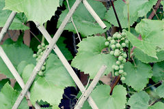 Plants, green, plant, white, summer, grapes, fence, garden, food, fruits, berries Stock Image