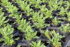 Plants in greenhouse nursery Stock Image
