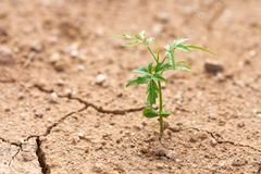 The plants grow on the dry ground. Plants try to live the next l. Ife. Environment is not conducive to growth. The idea of life is to live with the space Royalty Free Stock Photo