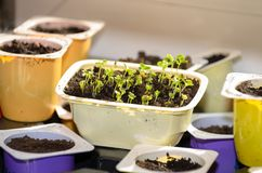 Plants grow germinate in a cup on the windowsill. Plants grow germinate in cup on the windowsill royalty free stock photography