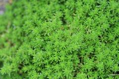 Species of stonecrop. Plants that grow on rocks `Species of stonecrop Royalty Free Stock Image