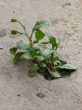 Plants grow up on the cement concrete Royalty Free Stock Images