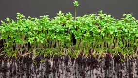 Plants grow up in fertile soil on grey background timelapse. Beautiful small plants grow up from yellow seeds in fertile soil on grey background extreme close stock video footage