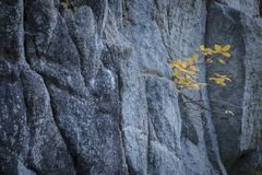 Plants growing on the granite wall. Plant with yellow leaves growing up on a granite wall in italian alps royalty free stock photos