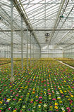 Plants growing in greenhouse. Many colorful primulas growing in a nursery Royalty Free Stock Photos