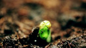 Plants Growing in Greenhouse Agriculture Time-lapse Sprouts Germination. New life. Evolution concept. Macro nature. Springtime summer time lapse. Video stock image