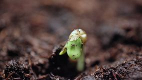 Plants growing in groung sprigtime timelapse. Germitating sprouting seeds. Evolution concept, new life cycle