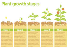 Plants growing infographic. Plants growing process. Plants growth stages. Royalty Free Stock Photography